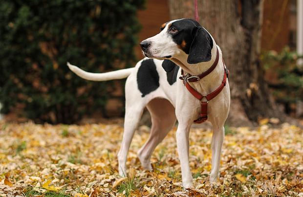 Why Coonhounds Make Excellent Family Pets