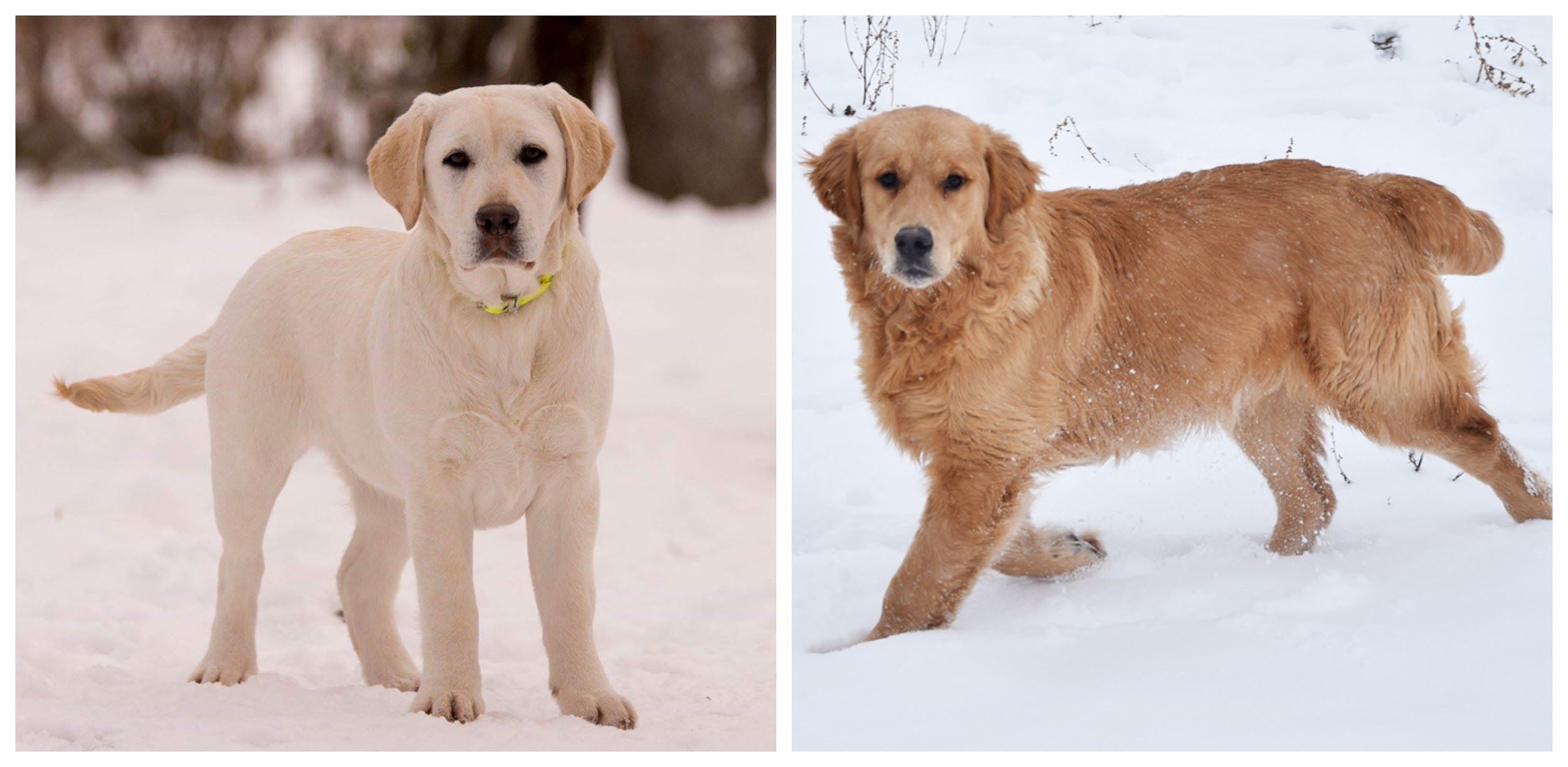 Labrador Or Golden Retriever Which Is