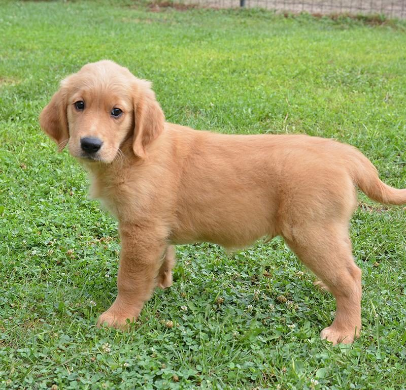 Labrador or Golden Retriever: Which is Better