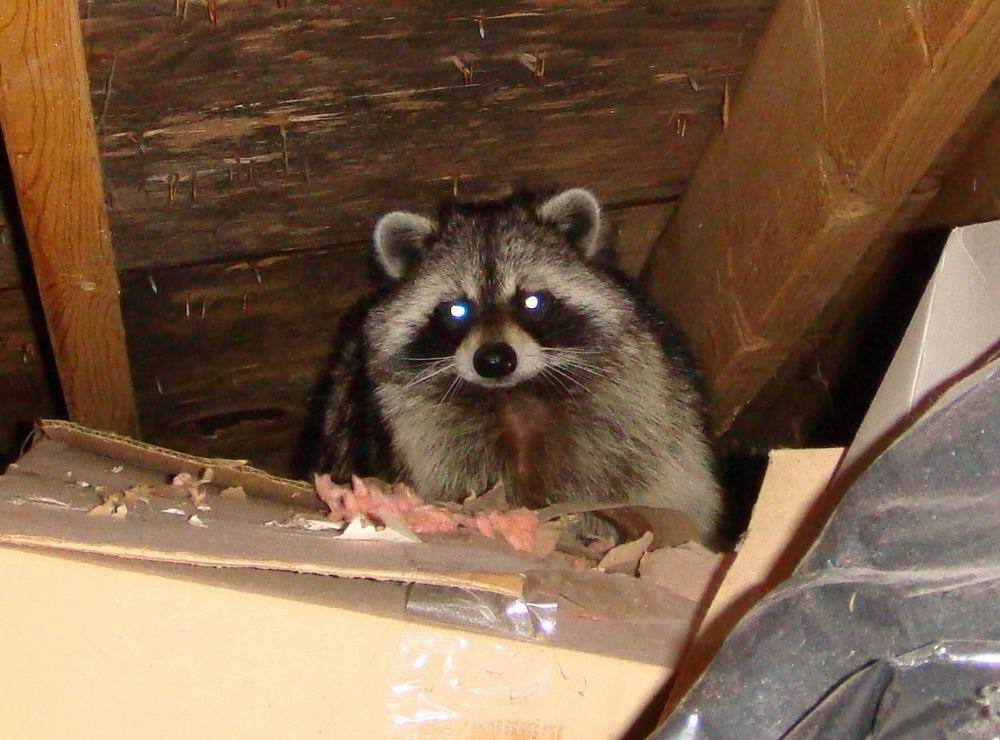 C:\Users\KELECHI NWOKE\Downloads\raccoon-in-attic.jpg
