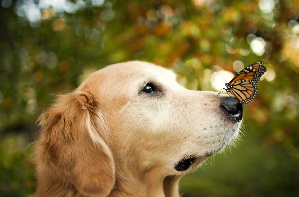dog-butterfly-cbd-oil.jpg