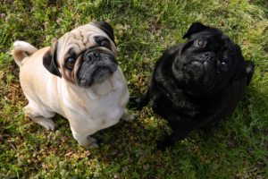 Things to Note About Brachycephalic Dogs Safety