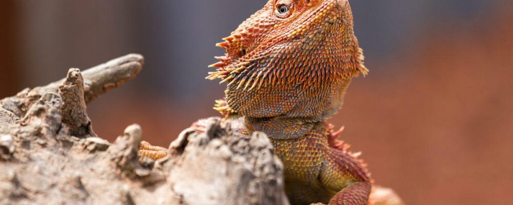 What You Should Know About Bearded Dragons