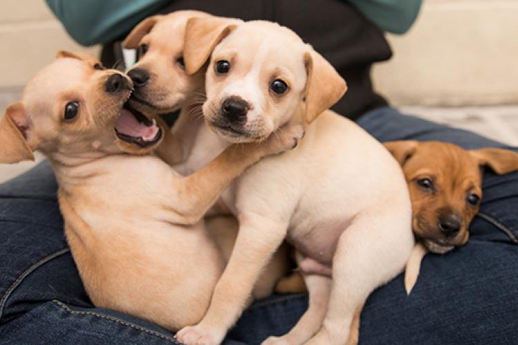 Litter of blond puppies on someone's lap with one puppy with his mouth open