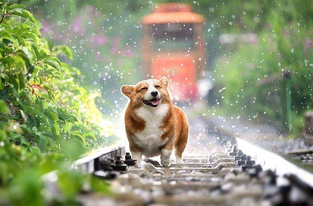 Dog, Corgi, Pets, Cute, Rain