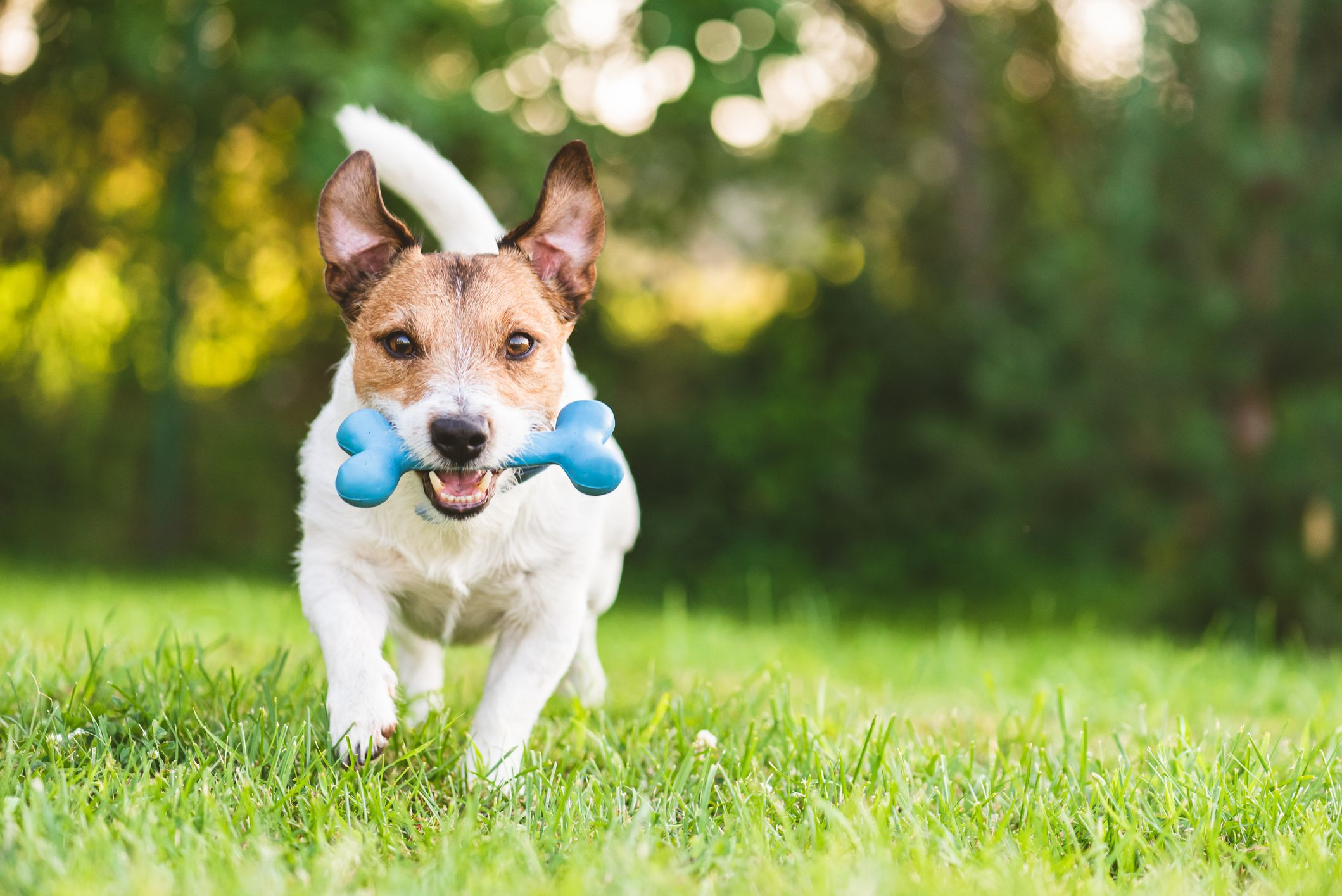 C:\Users\PC\Downloads\happy-and-cheerful-dog-playing-fetch-with-toy-bone-royalty-free-image-1590068781.jpg